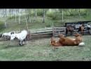 Кони чешут спинки