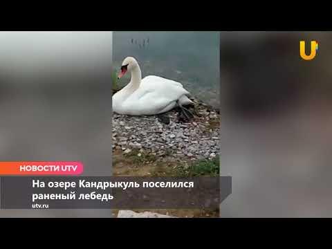 Новости UTV. В Башкирии раненый лебедь поселился на озере Кандрыкуль.