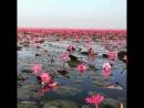 Nilüferler Водяные лилии Water lilies