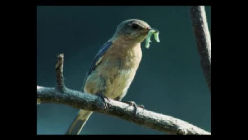 Перелетные птицы — Шишкина школа