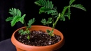 Mimosa pudica Timelapse Full HD 1080.