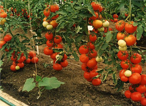 Высокоурожайные сорта томатов.