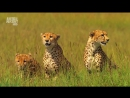 01-Дикие жёны саванны . Семейный раздел имущества (Документальный,животные)