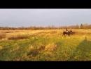 Настя В на Памире Померанце в поле на закате солнца галопом рысью Щеглово 05 11 2017