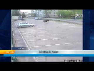 Внимание, лоси. Рыбинск (360p)
