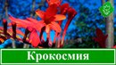 Цветок крокосмия монтбреция посадка и уход в открытом грунте выращивание из семян