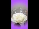 Роза в Колбе , Вечная Роза под Куполом