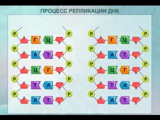 Процесс репликации ДНК