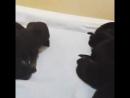 Новорожденные щенки немецкой овчарки