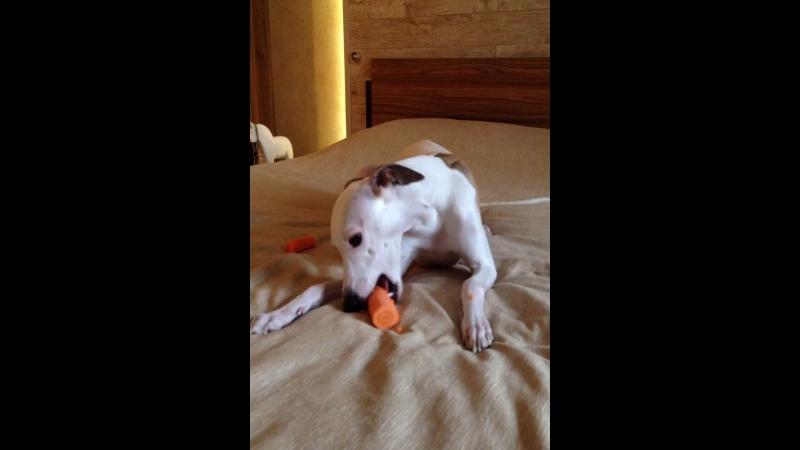Уиппет Йо-йо любит морковочку