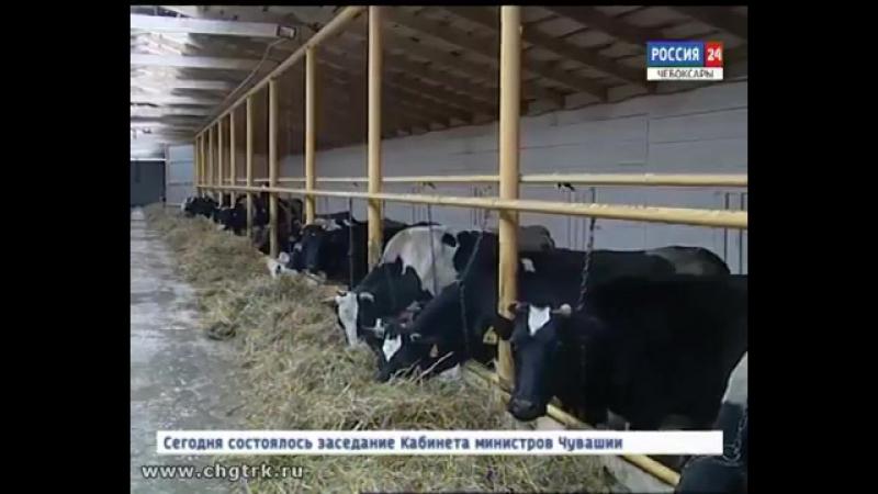 В Ибресинском районе открылся телятник на 100 голов с родильным отделением