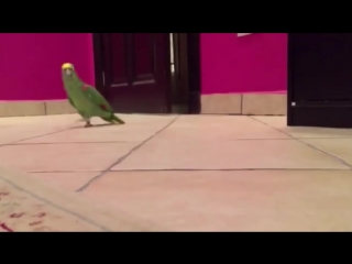 Попугай Кеша кричит