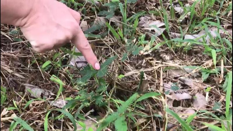 Стыдливая мимоза в Таиланде