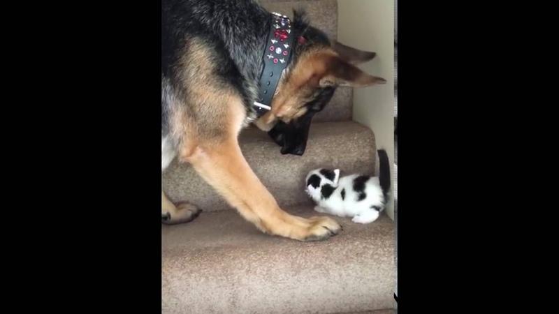 Dog Carries Kitten Upstairs