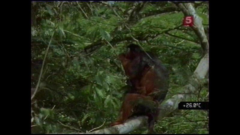 Борьба за выживание. Тивай - остров обезьян