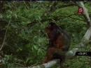 Борьба за выживание Тивай остров обезьян
