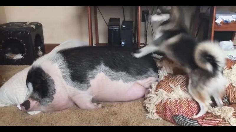 Собака будит свинью