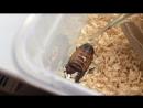Шипящий таракан шипит