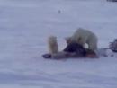 медведи в сабетте 054