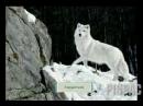Клип про волков задумайтесь.mp4