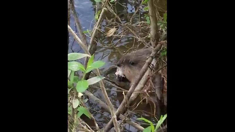 Кормление водяных крыс)