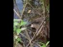 Кормление водяных крыс