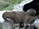Slippery Leopard Paws