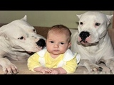 DOGO ARGENTINO DOG BABYSITTER Dog loves Baby Videos