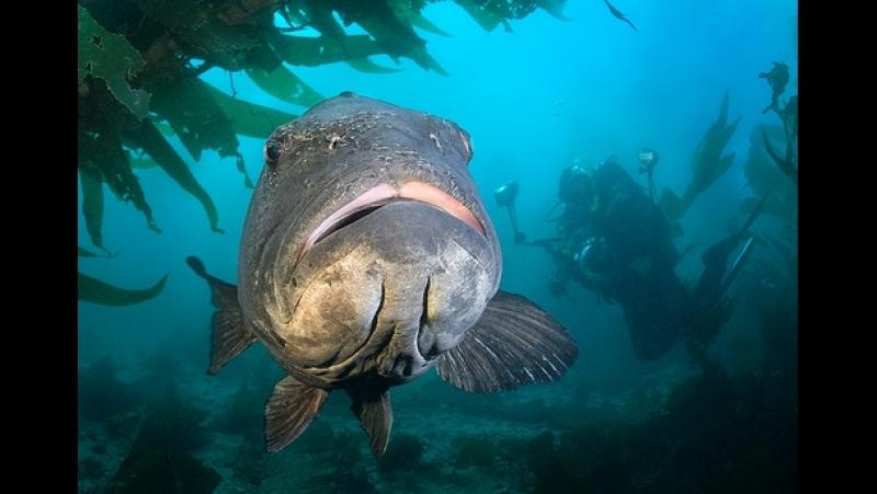 Морской окунь ворует рыбу у подводного охотника!