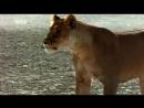 Доисторические хищники Prehistoric Predators Саблезубые тигр Saber Toth Cat