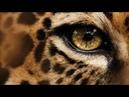 Леопард –совершенный хищник. История одной крупной кошки. Глаз леопарда Nat Geo Wild HD 0
