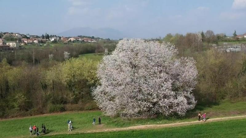 CILIEGIO SECOLARE - вишневый светское