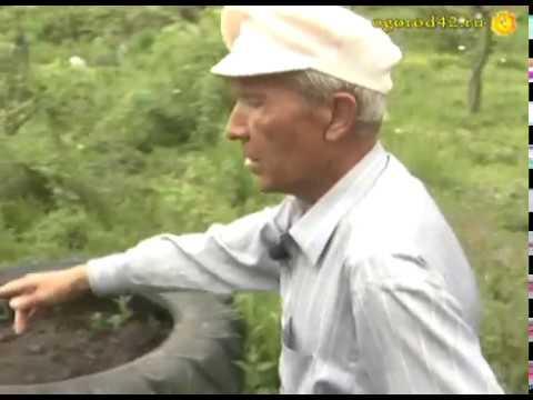 Диковинки в саду. Реально ли вырастить шелковицу в Кузбассе?
