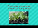 Выращивание рассады помидор советы по уходу