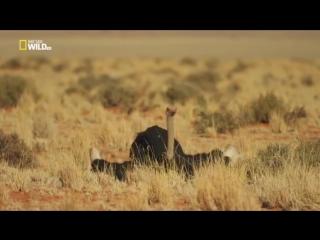 Жизнь африканского страуса. Документальный фильм
