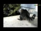 Ганста коты