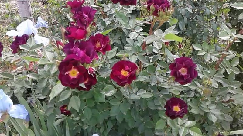 Питомник роз Полины Козловой, начало цветения, весна 2018