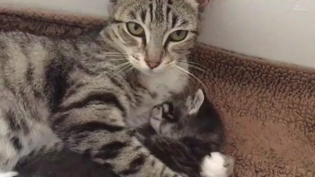 """Sweet Cat Club on Instagram """"📽 from @fangsfosters Matcha loves to cuddle with Jasmine! 🤩🤩🤩🤩🤩 ~ double tap ❤❤ 🐱🐱Shop for Cat Lovers 👉 @lovelycato..."""