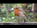 - 1ч.07мин. - Щебетание птиц Робина и пение во время осеннего дождя 1.95