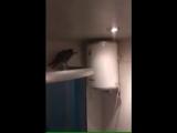 Случайно залетевший в квартиру попугай шокировал хозяев (6 sec)