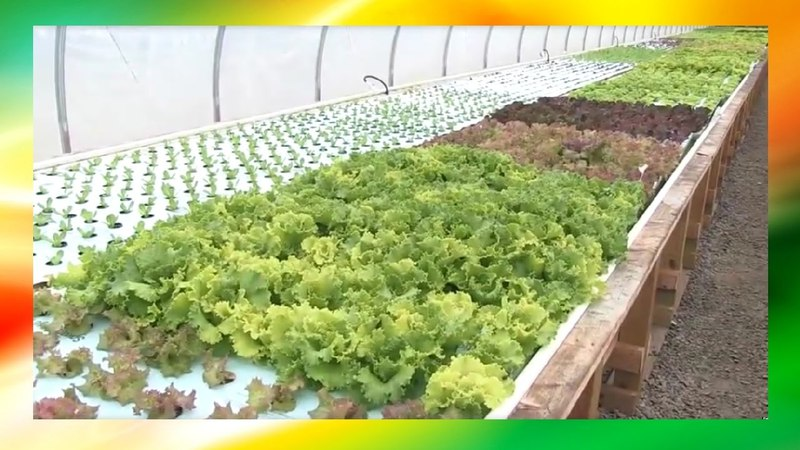 Practical Large Small Scale Aquaponics Farm Systems Process (Grow Food For Community At Home)