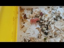 2 DAYS Old Little Hamster Escape from MOM!