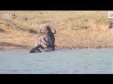 Бегемот спас от аллигатора