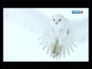 Зимняя сказка. Путешествие полярных сов2015