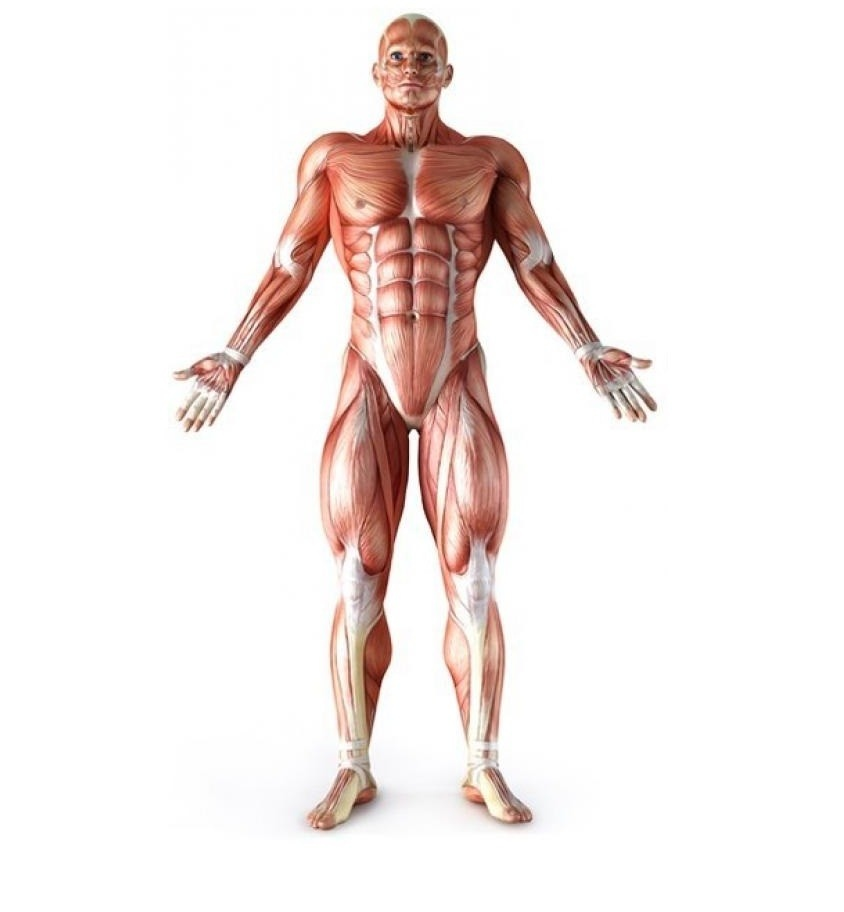 biggest muscles in the human body - 600×971