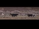 Одинокий волк против 6 собак