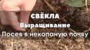 Выращивание свёклы на некопаной почве. Посев.