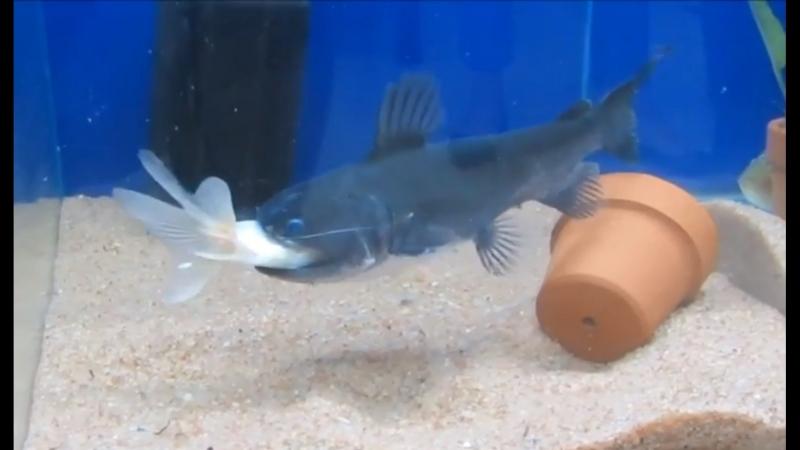 Сом ДаЦзуй ЦзинЮй - 02 (рыба рот-кит), точнее Астерофисус батраус (лат. Asterophysus batrachus). Уникальная рыба по способу