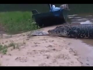 Наглый крокодил