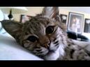 Sleepy, sweet pet bobcat